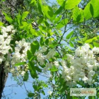 Белая акация цветы 50 грамм
