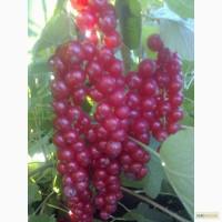 Продам качественные черенки самого лучшего сорта красной смородины РОВАДА