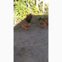 Продам цыплят бентамки