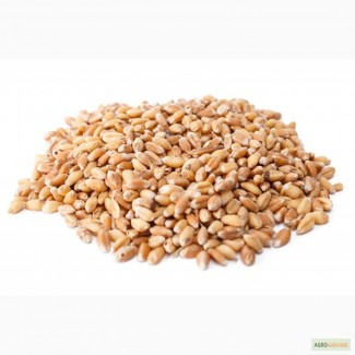 Купим пшеницу классовую