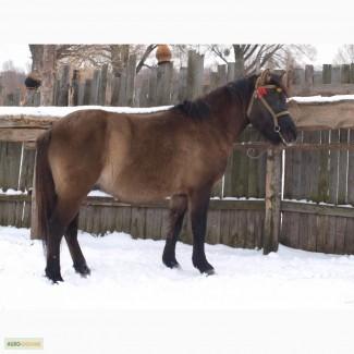 Продається кінь Гуцульської породи