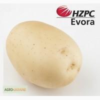 Семена картофеля Евора