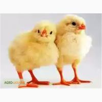 Цыпленок бройлер КОББ 500