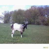 Племенной козёл