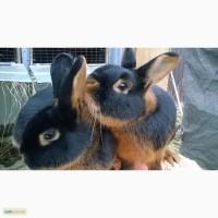 Продам кроликов черно огненной породы