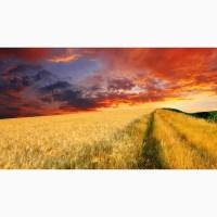 Закупаем пшеницу классовую и фуражную по всей Украине