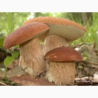 Куплю свіжі білі гриби оптом. Ціна змінна. Договірна. Купуємо літні і осінній гриб