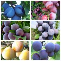 Саженцы новых мировых сортов слив, большой выбор сортов огромный выбор плодовых культур