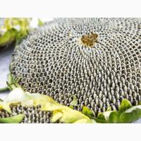Продам семена подсолнечника НС Адмирал (НС Х 195) (высокоурожайный) (Нови Сад/NS Seme)