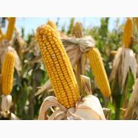 Продам семена кукурузы Подольский 274 СВ