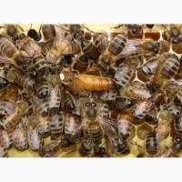 Бджоломатки Бакфаст F 1