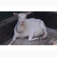 Продам породистих козочок, козлят та козлів