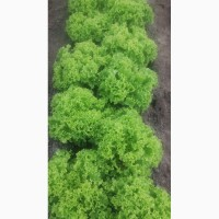 Продам салат: Бионда, Росса, Фризе