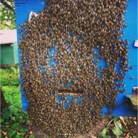 Бджолопакети (Пчелопакеты) карпатської бджоли