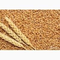 Куплю пшеницу крупным оптом/ пшеницю крупний гурт