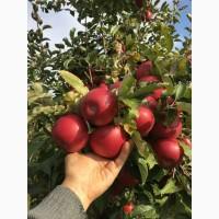 Продам яблука, перший сорт