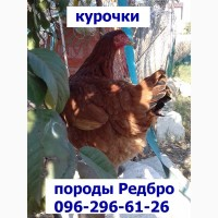 Месячные подрощенные цыплята Редбро.сезон 2019, Одесса