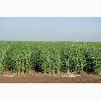 Продам семена суданской травы Харьков