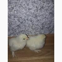 Продам інкубаційне яйце курейБрома світла.Також продам курчат.10 днів.Пропоєні