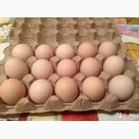 Яйца куриные (домашние без химии )
