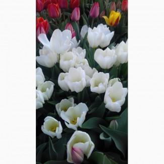 Продам луковицы тюльпанов в миксе