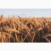 Семена ржи (жито) озимой Сиверське