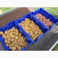 Продаем семенной картофель Ривьера, Бела Роса, Гранада, Пикассо ( картошка )