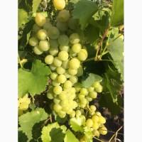 Продам виноград
