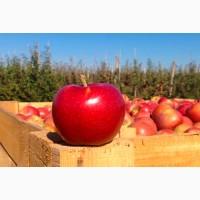 Яблоки из собственного сада