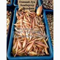 Продам Лук севок озимый Бамбергер Золотой, Top Onions, Голландия, 10 кг