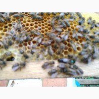 Безстільникові Бджолопакети Карпатка 2020р