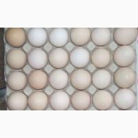 Яйце столове (товарне кремове) куряче