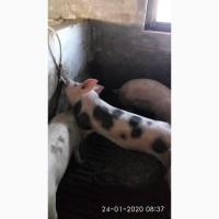 Продаю свинок мясної породи оптімус-пьєтрен на племя (ремонтні свинки)