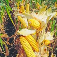 Семена кукурузы ДА СОНКА от компании BREVANT Seeds