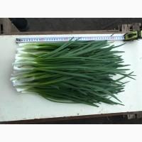 Продам лук зелёный, сорт Штутгарт