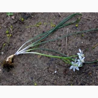 Птицемлечник садовый (луковица ОКС) 5 грн