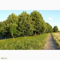 Продажа саженцов неплодоносящих деревьев