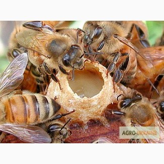 Маточное молочко пчелиное, свежезамороженное, быстрая доставка по Украине