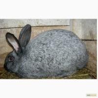 Продам кролі породи Полтапвське срібло