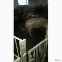 Продам свиней оптом 120-130 кг 300 галов