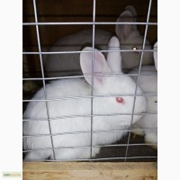 Кролики нзб Новозеландсикй белый