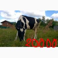 Продам корову черна-ряба молочна