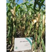 Продам семена кукурузы ДН Аквозор