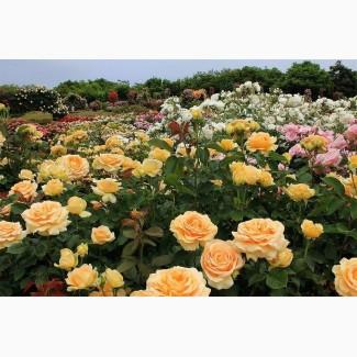 Продам сажанці роз