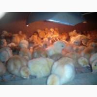 Продам цыплят, курчат