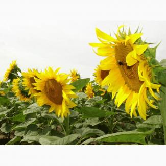 Отличная цена урожая 2017 года! Посевной материал подсолнечника гибрид НС Х -2017 (Сербия)