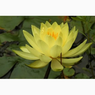 Продам сортовые гибридные нимфеи(водяные лилии)