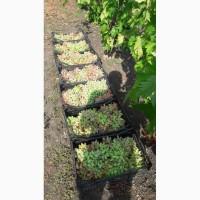 Продам ягоды винограда столовых и винных сортов