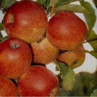 Продам Яблука з молодого саду Зимніх Сортів