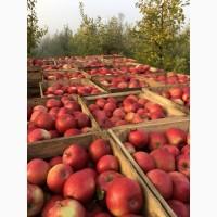 Фермерське господарство реалізує яблука